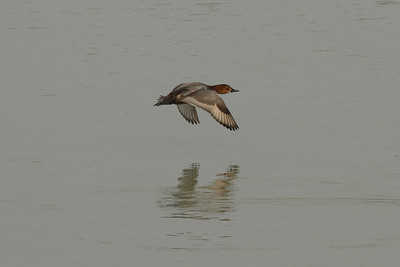 Common Pochard (female) / Fuligule milouin (femelle) / 흰죽지Aythya ferina Haenam-gun, Jeollanam-do, South Korea 23 November 2013