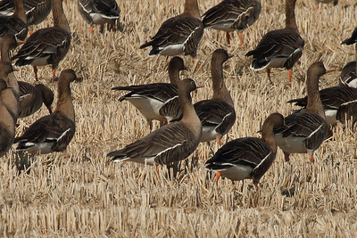 Lesser White-fronted Goose / Oie naine / 흰이마기러기Anser erythropus Hanji-ri, Hwangsan-myeon, Haenam-gun, Jeollanam-do, South Korea 5 January 2014