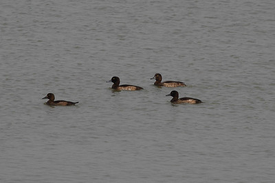 Tufted Duck / Fuligule morillon / 댕기흰죽지Aythya fuligula Haenam-gun, Jeollanam-do, South Korea 23 November 2013