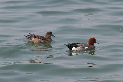 Eurasian Wigeon (male & female) / Canard siffleur (mâle et femelle) / 홍머리오리Anas penelope Nakdonggang River, Daedae-dong, Busan, South Korea 23 March 2014