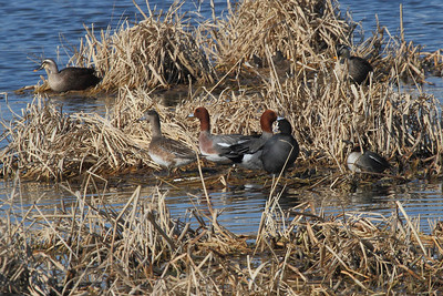 Eurasian Wigeon (male & female) / Canard siffleur (mâle et femelle) / 홍머리오리Anas penelope Yeongsangang River, Deokheung-dong, Gwangju, South Korea 4 January 2014