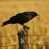 American Crow / Corneille d'Amrique