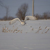 Snowy Owl (juvenile) / Harfang des neiges (adolescent)