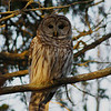 Barred Owl / Chouette raye