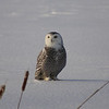 Snowy Owl (juvenile) / Harfang des neiges (adolescent