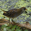Sora / Marouette de Caroline