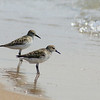Semipalmated Sandpiper / Bcasseau semipalm
