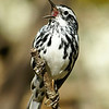 Black-and-white Warbler (male) / Paruline noir et blanc (mle)