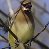 Cedar Waxwing / Jaseur d'Amrique