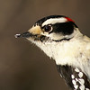 Downy Woodpecker (male) / Pic mineur (mle)