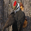 Pileated Woodpecker (female) / Grand pic (femelle)