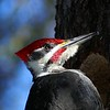 Pileated Woodpecker (male) / Grand pic (mle)