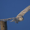 Snowy Owl (female) / Harfang des neiges (femelle)