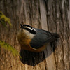 Red-breasted Nuthatch (male) / Sittelle  poitrine rousse (mle)