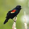Red-winged Blackbird (male) / Carouge  paulettes (mle)